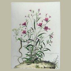 Nicholas Robert (1610-1684) - Bindweed - Botanical Rarissimum 54cm