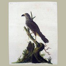 John Latham (1740-1837) - New Zealand Falcon - Original hand coloured engraving 1785