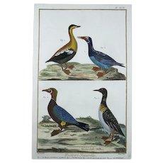 Martinet - Ducks Geese - Ornithology - hand coloured 39 cm engraving - 1751