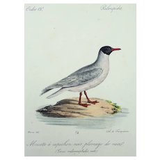 Werner (Johann Carl) - SEAGULL - Ornithology - Hand coloured lithograph - 1826 - Matted