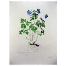 Nicholas Robert (1610-1684); de Chastillon - Blue Buttercups - Botany - Rarissimum 54cm