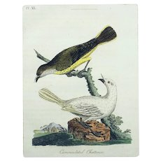 John Latham (1740-1837) - SOUTH AMERICAN BELLBIRD - Original hand coloured engraving 1785