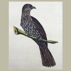 John Latham (1740-1837) - The NEW ZEALAND THRUSH - Original hand coloured engraving 1785