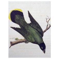 John Latham (1740-1837) - BULBUL Hawaii Australia - Original hand coloured engraving 1785