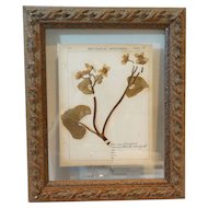 Antique Dried Botanical Marigold Frame Dated 1911 with Field Notes