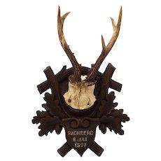 1890's Mounted Black Forest Roe Deer Trophy