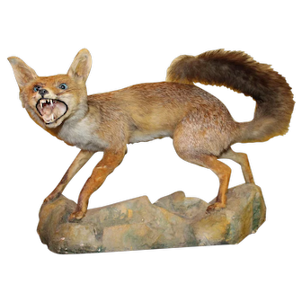 Antique Taxidermy Red Fox Mounted