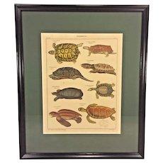 Antique Zoology Print of Turtle Species Schildkroeten Early 20th Century St Schillingen Gest Lorenz Oken's Allgemeine Naturgeschichte VI Zoologie