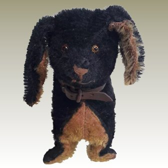 Adorable Early Dachshund dog