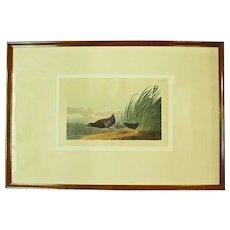 """Least Water Hen"" Audubon Print"