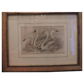"""""""Swans"""" Bookplate - 1838 The Naturalist's Library: Birds of Great Britain and Ireland by William H. Lizars"""