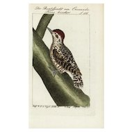 18th Century,Authentic,Antique,natural history,bird,hand colored,engraving,Rare,wood Pecker