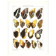 Authentic,Antique,Natural History,Entomological Print,African Butterflies ,Butterflies Wings