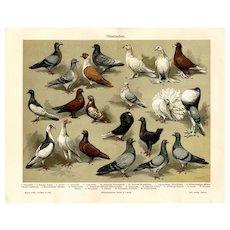 19th Century ChromoLithograph print of Pigeons from German Encyclopedia Brehms Tierleben 1887