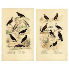 Set of two,Authentic,Antique,Natural history,Bird prints,Various,Pigeons and other birds
