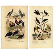 Set of two,Authentic,Antique,Natural history,Bird prints,Various,Roosters,Turkey,black bird