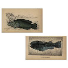 Set of two,19th Century,Authentic,original,natural history,handcolored Fish Prints, Jardine Sir william,