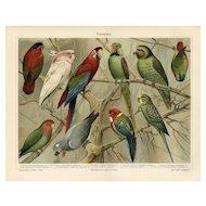 19th Century ChromoLithograph print of parrots  from German Encyclopedia Brehms Tierleben 1887