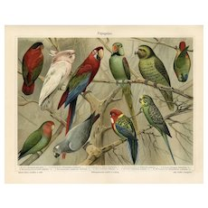 19th Century ChromoLithograph print of parrots  from German Encyclopedia Brehms Tierleben 1887