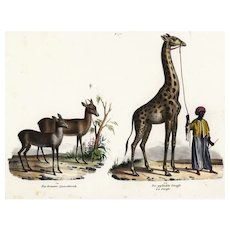 Antique,Original,Hand Colored,Natural History,Animal Print,Raccoon,Deer,giraffe,People