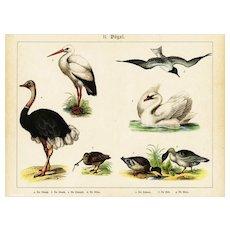 19th Century,Original,Antique,Hand Colored Print,Birds,Center Fold,Ostrich,Swans,Ducks
