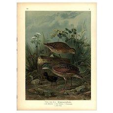 Original,19th Century,color,lithograph print, Various birds,altes Weibchen
