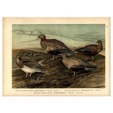 Original,19th Century,color,lithograph print, Various birds
