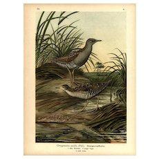 Original,19th Century,color,lithograph print,Various birds