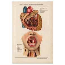 19th Century,Antique,original,color,lithograph print,Human anatomy,infections,diseases,Mouth,cavity,heart