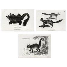 Set of three,Original,19th century,Authentic,Black and white,Engraving,opossums