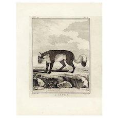 18th Century,Original,Authentic,Copper Engraving,Animal,Fox,wildlife,Natural History