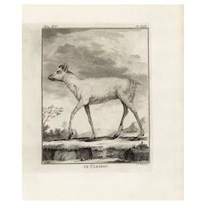 18th Century,Original,Authentic,Copper Engraving,Animal,wildlife,Natural History,Goat