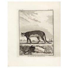 18th Century,Original,Authentic,Copper Engraving,Animal,wildlife,Natural History,Pennsylvania cougar