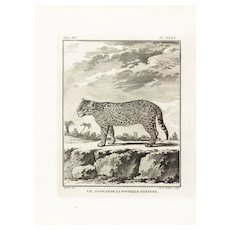 18th Century,Original,Authentic,Copper Engraving,Animal,wildlife,Natural History,Jaguar