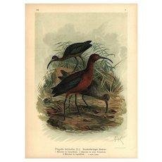 Authentic,Original,19th Century,color,lithograph print,Various birds,Large Folio