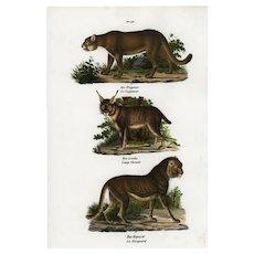 Antique,Original,Hand Colored,Natural History,Animal Print,Lynx,Jaguar,Leopard,wild cats
