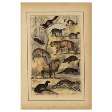 19th Century,original,antique,natural history prints of Animals,hand colored,Tigers,lions,wildlife,Wild cats