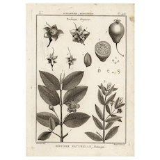 18th Century,Authentic,Original,Antique,Botanical,cooper Engraving,Various plants,psidium guajava