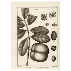 18th Century,Authentic,Original,Antique,Botanical,cooper Engraving,Various plants,Mommea Fruits