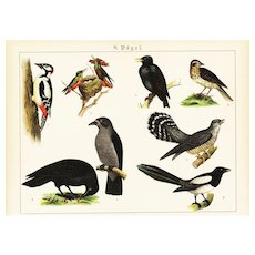 19th Century,Original,Antique,Hand Colored Print,Center Fold,various birds,Raven,Woodpecker,finch,humming birds