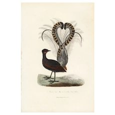19th century,Antique,Natural History,bird Print,original,hand colored.Lyre bird
