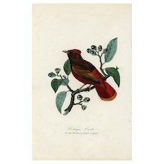 19th century,Antique,Natural History,bird Print,original,hand colored.Bird on a branch