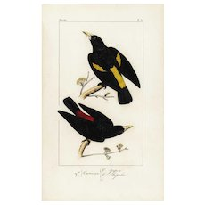 19th Century,Original,antique,hand colored,Exotic bird,engraving