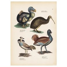 19th century,Antique,Hand Colored,Original,Natural history,Print,Dodo bird,Kiwi bird