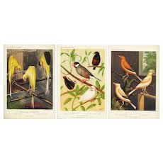 Set of three,Authentic,antique,bird,lithograph prints,Various,Cage birds,Canaries