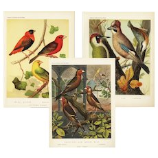 Set of three,Authentic,antique,bird,lithograph prints,Various,Cage birds
