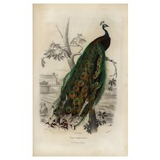 19th century,Antique,Natural History,bird Print,original,hand colored.Peacock