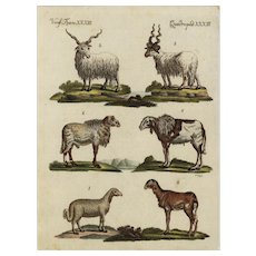 18th Century,Authentic,natural history,hand colored,Engraving,Farm animals,Goats,sheep