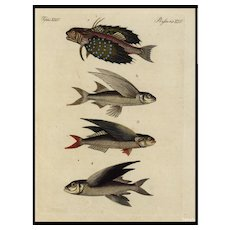 18th Century,Authentic,natural history,hand colored,Engraving,Sea life,ocean,fish