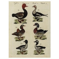 18th Century,Authentic,natural history,hand colored,Engraving,Birds,Various duck